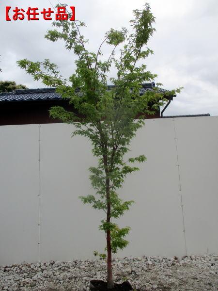 紅葉の美しさは一番 イロハモミジ単木 樹高2.0m以上 根鉢含まず シンボルツリー 最安値に挑戦 伊呂波紅葉 送料無料 庭木 落葉高木 植木 商い 落葉樹