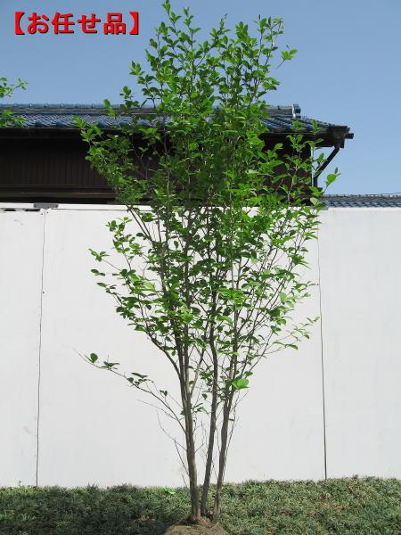 シャラノキ 夏椿[ナツツバキ] 株立!樹高2.0m以上(根鉢含まず) シンボルツリー 庭木 植木 落葉樹 落葉高木