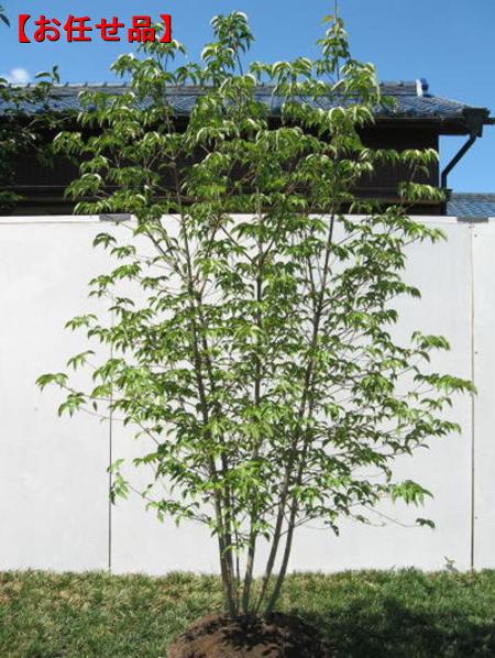【スーパーセール10%オフ】ヤマボウシ株立 樹高2.0m以上【大型商品・配達日時指定不可】