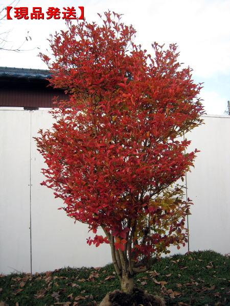 ボリューム満点 現品発送 4年保証 ファッション通販 ドウダンツツジ 白花 樹高1.4m-1.6m 根鉢含まず 落葉低木 花木 植木 落葉樹 送料無料 庭木