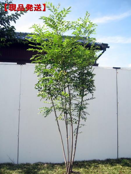 シマトネリコはシンボルツリーとして大人気 現品発送 シマトネリコ樹高1.8-2.3m 根鉢含まず 株立 シンボルツリー 常緑樹 百貨店 送料無料 植木 高級な 庭木 常緑高木