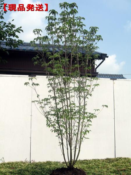 【現品発送】ヤマボウシ 株立 樹高2.2m-2.4m(根鉢含まず)シンボルツリー 庭木 植木 落葉樹 落葉高木