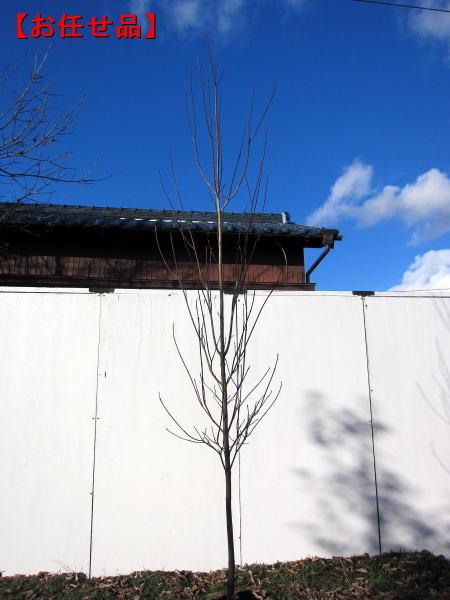 ハナミズキ(ホワイトラブ)樹高2.0m前後(根鉢含まず)シンボルツリー 庭木 植木 落葉樹 落葉高木