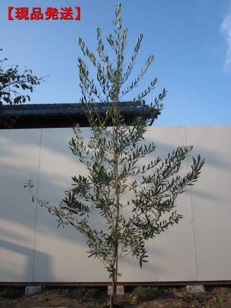 【現品発送】オリーブ(ルッカ)樹高2.3-2.6m(根鉢含まず) シンボルツリー 庭木 植木 常緑樹 常緑高木