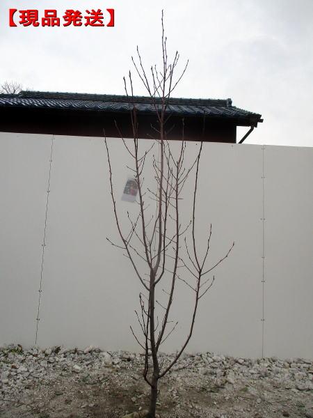 【現品発送】ジューンベリー (バレリーナ)樹高1.6-2.4m(根鉢含まず) シンボルツリー 庭木 植木 落葉樹 落葉高木
