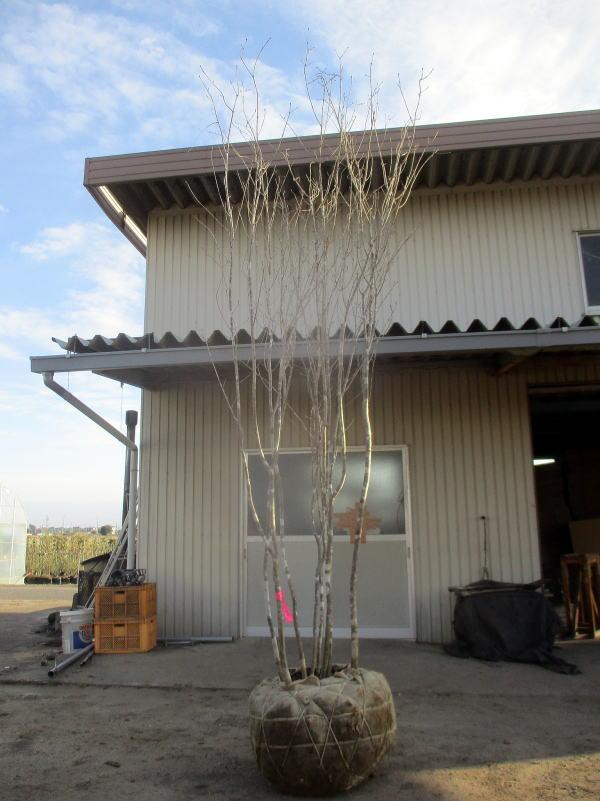 【現品発送】アオダモ 株立樹高3.0m(根鉢含まず) シンボルツリー 庭木 植木 落葉樹 落葉高木