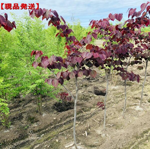 【現品発送】アメリカハナズオウ(フォレストパンシー)樹高1.7-2.2m(根鉢含まず) シンボルツリー 庭木 植木 落葉樹 落葉高木
