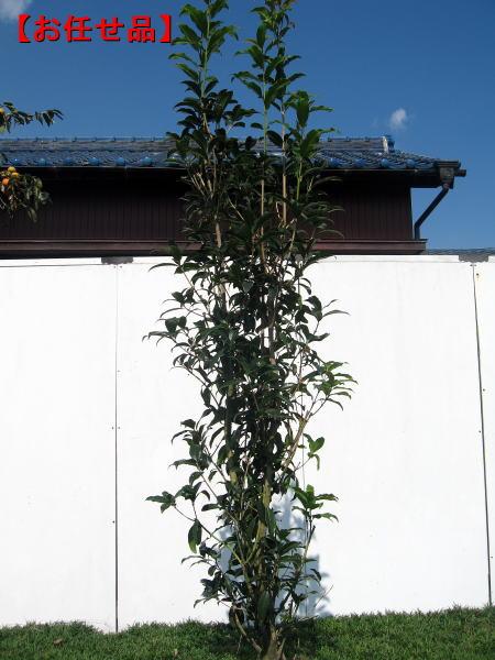 花が咲くサイズ のキンモクセイ キンモクセイ 金木犀 樹高約2.0m前後 根鉢含まず 庭木 植木 常緑樹 セール品 常緑高木 送料無料 シンボルツリー 新作多数