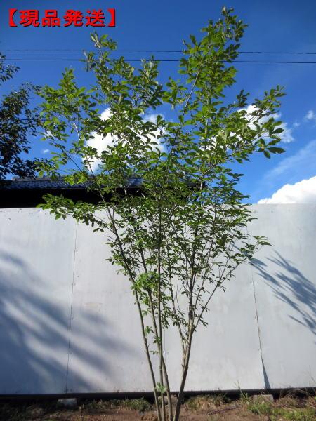 【現品発送】コナラ 株立樹高1.9-2.2m(根鉢含まず)【大型商品・配達日時指定不可】