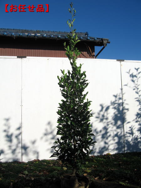 神棚にあげる神聖な木 本サカキ ホンサカキ 樹高1.5m前後 根鉢含まず ☆正規品新品未使用品 与え シンボルツリー 庭木 送料無料 常緑樹 常緑高木 植木