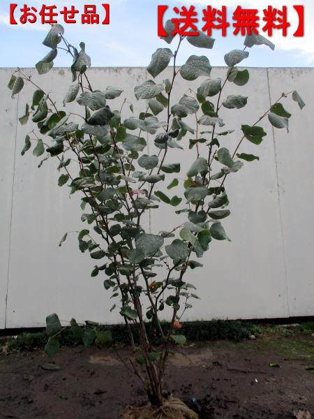 立派な樹形 マルバノキ樹高1.5m前後 根鉢含まず ☆送料無料☆ 当日発送可能 花木 庭木 落葉低木 安い 送料無料 植木 落葉樹