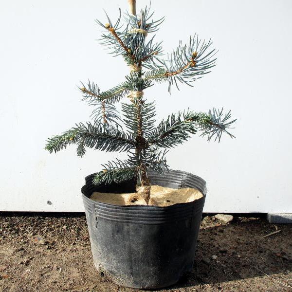 【現品発送】もみの木の王様プンゲンストウヒ ホプシー(つぎ木苗)樹高50cm-60cm(根鉢含まず)クリスマスツリー モミノキ