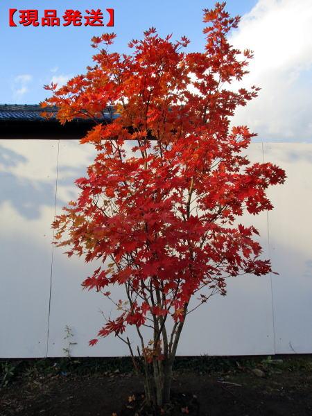 【現品発送】コハウチワカエデ株立 樹高1.8-2.3m(根鉢含まず) シンボルツリー 庭木 植木 落葉樹 落葉高木