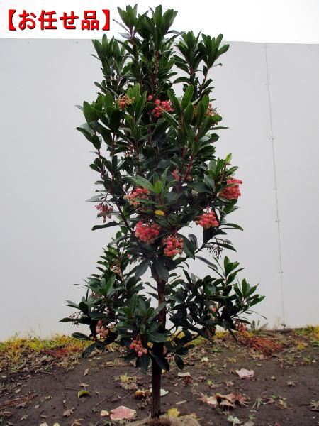 真っ赤に熟す実 お任せ品 赤花ヒメイチゴノキ 人気急上昇 いちごの木 ストロベリーツリー樹高1.2m前後 根鉢含まず イチゴの木 常緑高木 常緑樹 大幅値下げランキング 庭木 植木 シンボルツリー 送料無料