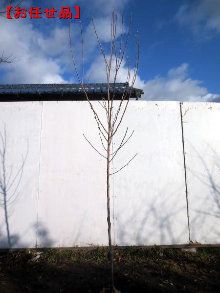 春の訪れをつげる花 シデコブシ ヒメコブシ ピンク花樹高1.8m前後 根鉢含まず シンボルツリー 植木 庭木 落葉高木 バーゲンセール 落葉樹 至上 送料無料