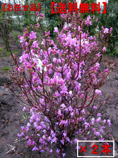 【送料無料】ミツバツツジ2本セット(紫花)樹高1.2m前後(根鉢含まず) 花木 庭木 植木 落葉樹 落葉低木