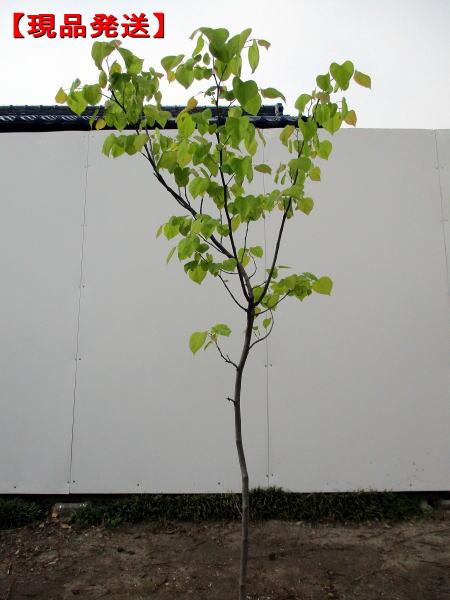 人気ブラドン 【現品発送】アメリカハナズオウ(ハートオブゴールド)樹高1.5-1.8m(根鉢含まず), 金沢の漬物専門店 四十萬谷本舗:6a2a6809 --- supercanaltv.zonalivresh.dominiotemporario.com