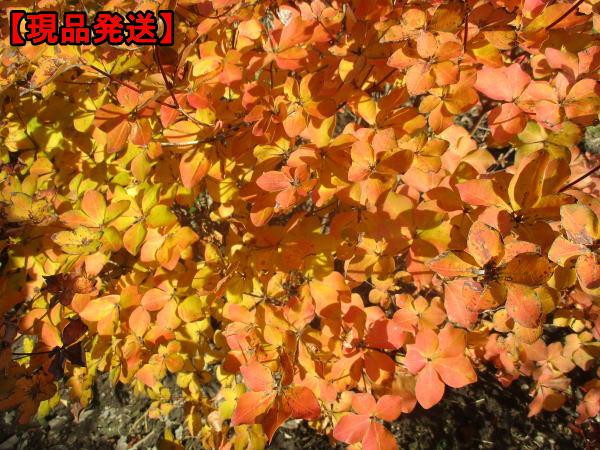 【現品発送】シロヤシオ(ゴヨウツツジ、ヤシオツツジ)樹高0.7m-0.8m(根鉢含まず) 花木 庭木 植木 落葉樹 落葉低木