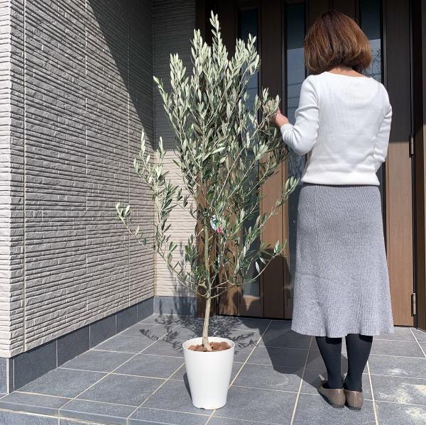 さわやか純白鉢 現品発送 オリーブの木 樹高0.9m-1.6m オンラインショッピング 根鉢含まず 7号化粧鉢 シンボルツリー 鉢植え 常緑樹 植木 使い勝手の良い 送料無料 常緑高木 観葉植物