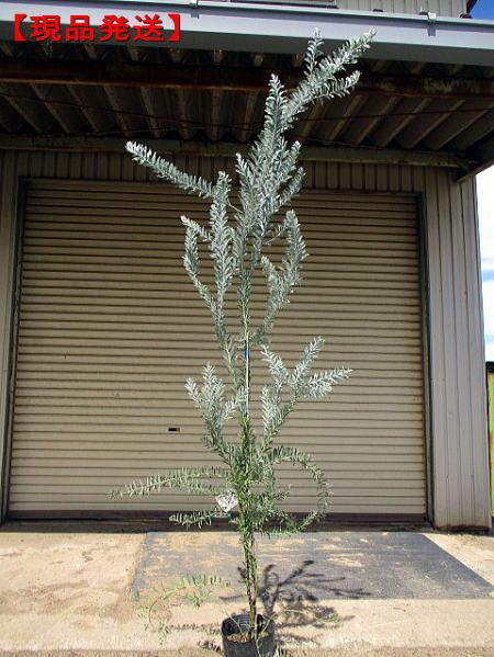 ブルーブッシュ アカシア1.7m~2.0m(根鉢含まず)シンボルツリー 庭木 植木 常緑樹 常緑高木