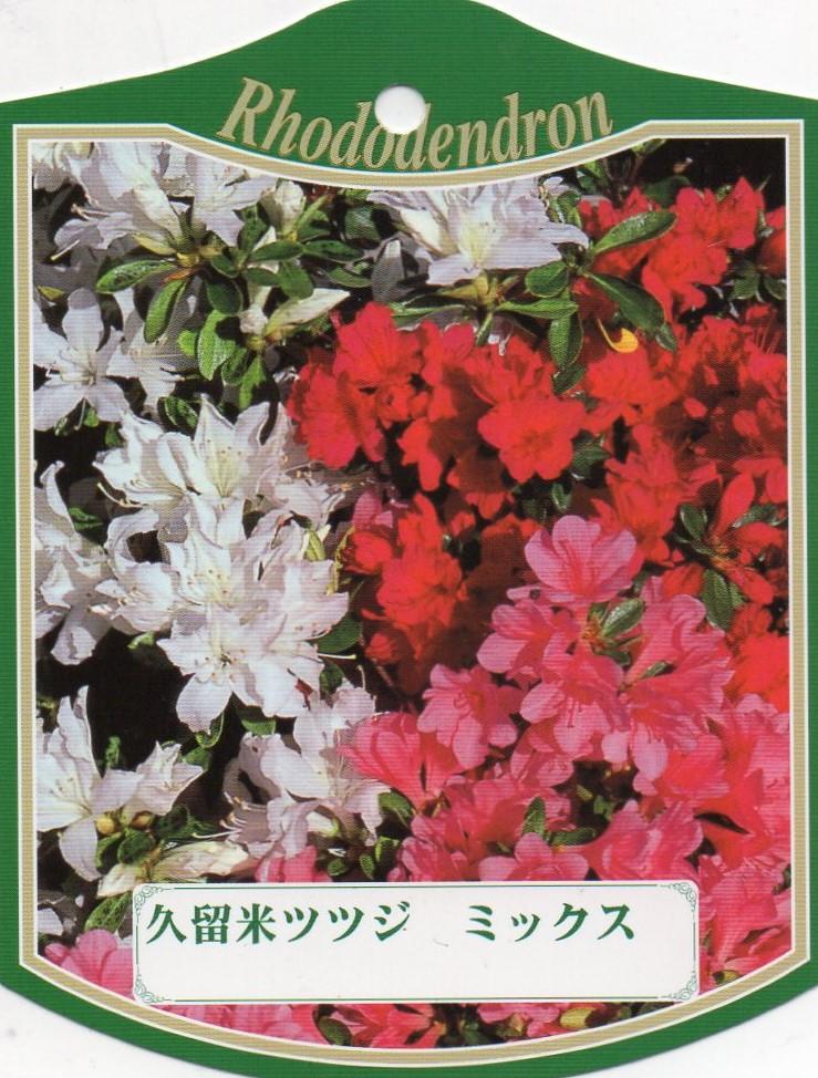 【送料無料】12本セットクルメツツジ(久留米ツツジ)ミックス三色咲き5.5号ポット 約0.4m(根鉢含む) 花木 庭木 植木 常緑樹 常緑低木