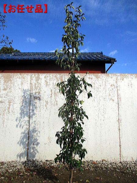 花 実 紅葉の三拍子 おしゃれ 常緑ヤマボウシ 月光 単木 樹高2.0m前後 好評 常緑樹 植木 根鉢含まず シンボルツリー 送料無料 常緑高木 庭木