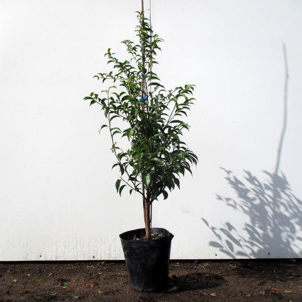 珍しい 常緑エゴノキ樹高1.0m前後 根鉢含まず 7号鉢 シンボルツリー 常緑樹 庭木 送料無料 特別セール品 常緑高木 日本 植木