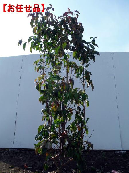 花・実・紅葉が楽しめる 【おまかせ品】常緑ヤマボウシ 月光 株立樹高1.5m前後(根鉢含まず)シンボルツリー 庭木 植木 常緑樹 常緑高木【送料無料】