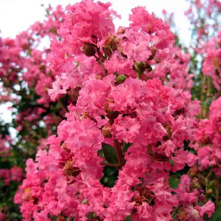 【現品発送】サルスベリ(百日紅)ピンク花樹高2.3-2.5m(根鉢含まず) シンボルツリー 庭木 植木 落葉樹 落葉高木
