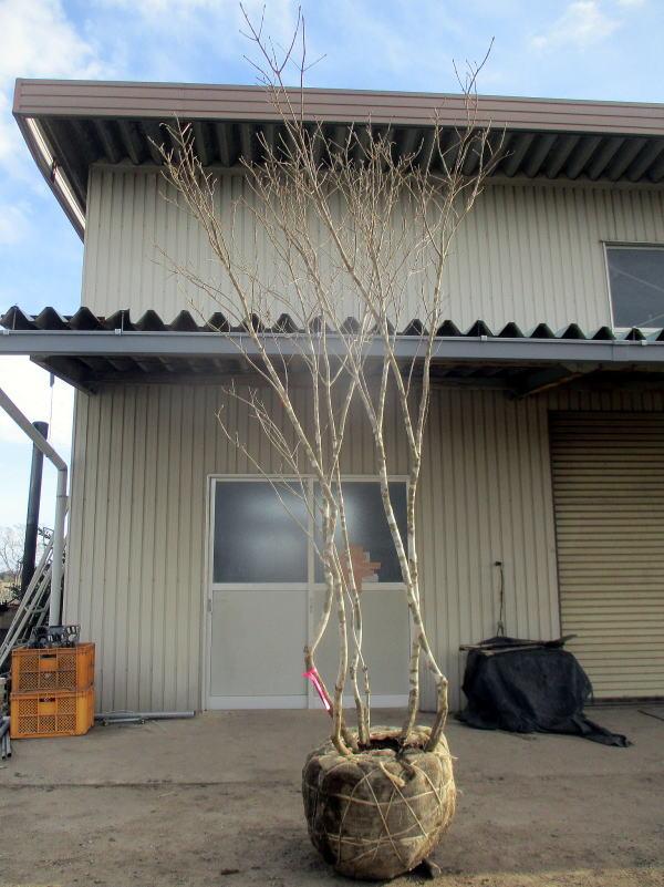 【現品発送】アオダモ 株立樹高2.6m(根鉢含まず) シンボルツリー 雑木 植木 落葉樹 落葉高木