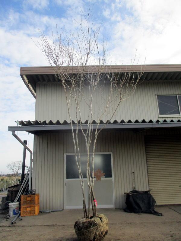 【現品発送】アオダモ 株立樹高3.8m(根鉢含まず) シンボルツリー 雑木 植木 落葉樹 落葉高木