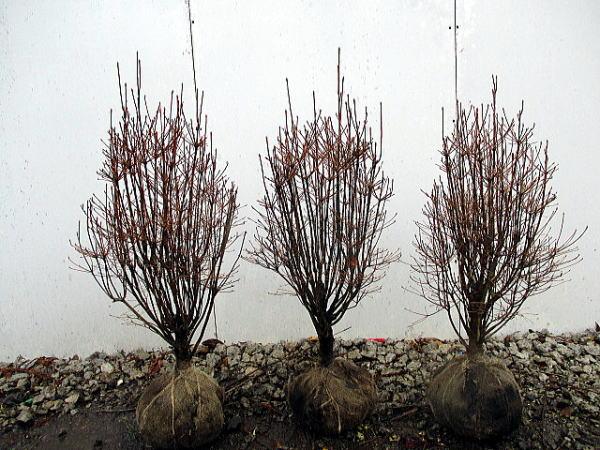 【送料無料】4本セット ドウダンツツジ樹高0.8m以上(根鉢含まず) 花木 庭木 植木 落葉樹 落葉低木