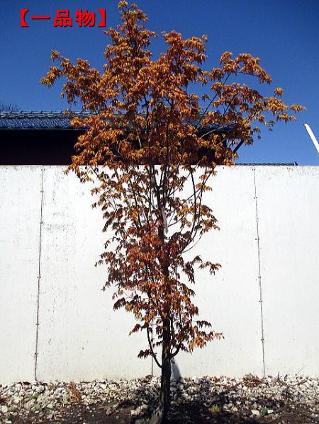 【現品発送】太い!カツラモミジ(桂紅葉)樹高2.0m(根鉢含まず)【一品物】シンボルツリー 庭木 植木 落葉樹 落葉高木