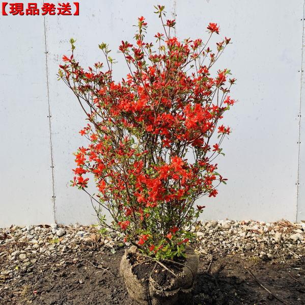 【現品発送】ホンキリシマ(本霧島)ツツジ樹高1.0-1.2m(根鉢含まず) 花木 庭木 植木 常緑樹 常緑低木