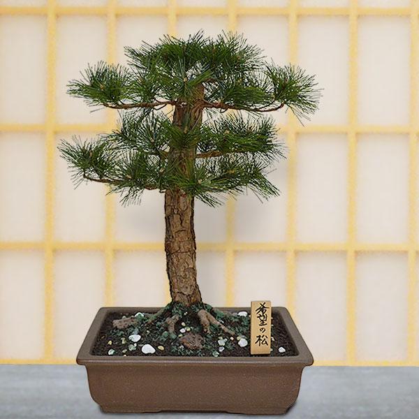【人工植物】 松の盆栽 希望の松 全高46cm 9号 ぼんさい 人工観葉植物 人工樹木 造花 フェイクグリーン インテリアグリーン 式典 祭典 祝賀会 イベント