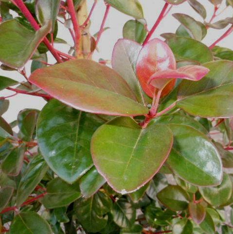 送料無料 150cm シンボルツリー 庭木 鉢植え【ロドレイア 樹高1.5m前後】