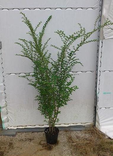 120cm 3本セット 洋風 ガーデン 生垣【プリペット『3本セット』 樹高1.2m前後】