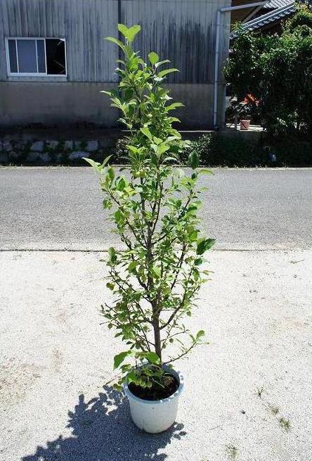 150cm シンボルツリー りんご 収穫果樹【ヒメリンゴ 樹高1.5m前後】