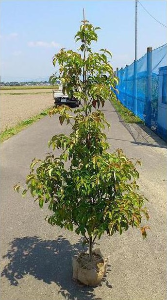 送料無料 150cm 人気シンボルツリー【常緑ヤマボウシ(ホンコンエンシス)樹高1.5m前後】