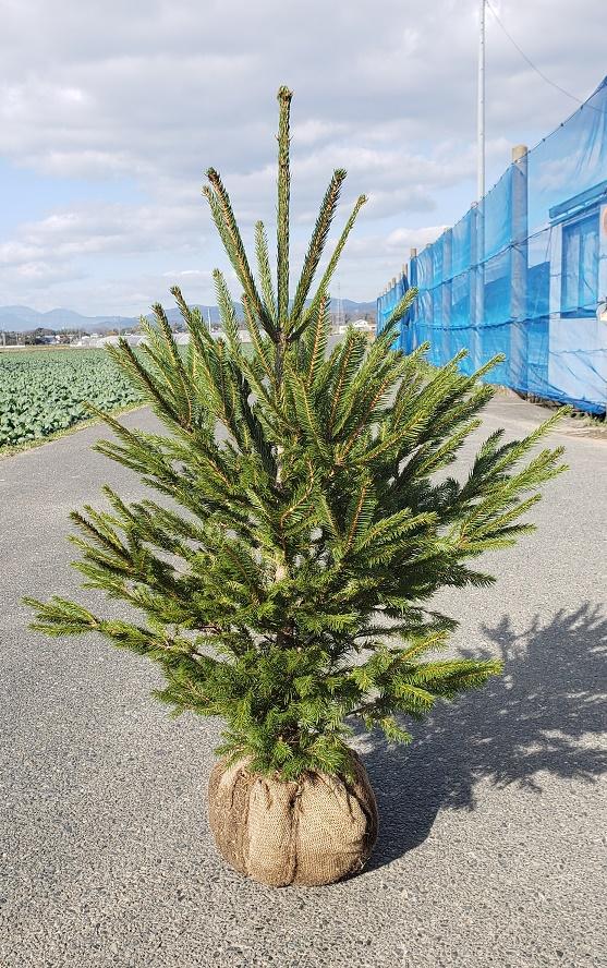 120cm クリスマスツリー シンボルツリー【ドイツトウヒ 樹高1.2m前後】