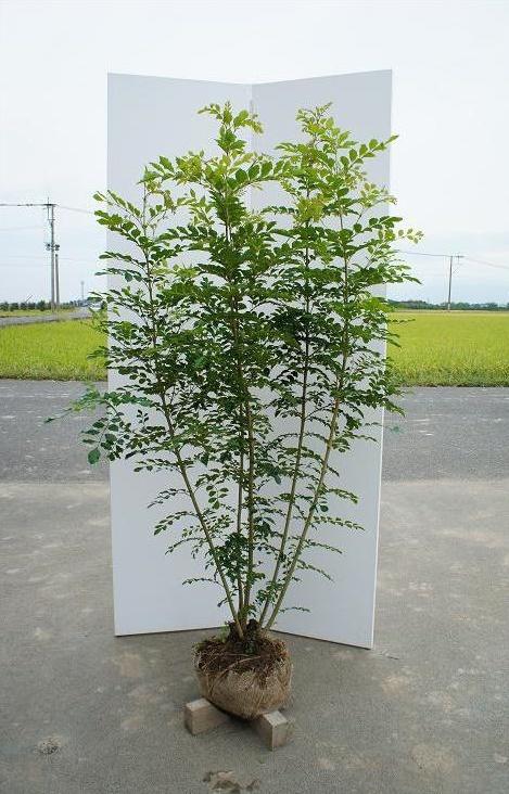 送料無料 150cm 人気シンボルツリー 常緑樹【シマトネリコ 株立 樹高1.5m前後】