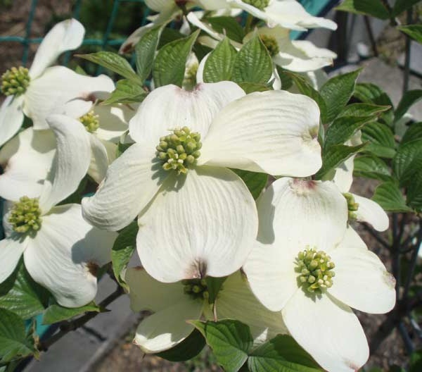 送料無料 150cm 白 シンボルツリー  花水木【ハナミズキ(白花) 樹高1.5m前後】