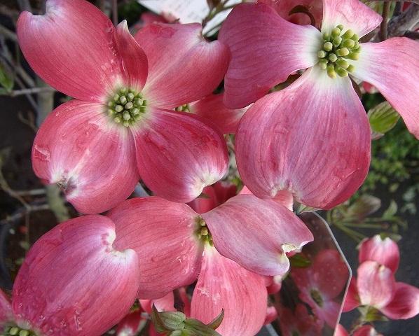 送料無料 150cm 赤 シンボルツリー 花水木【ハナミズキ(赤花) 樹高1.5m前後】