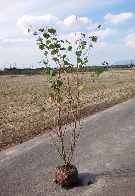 送料無料 150cm シンボルツリー 初心者 ハート型【マルバノキ株立 樹高1.5m前後】
