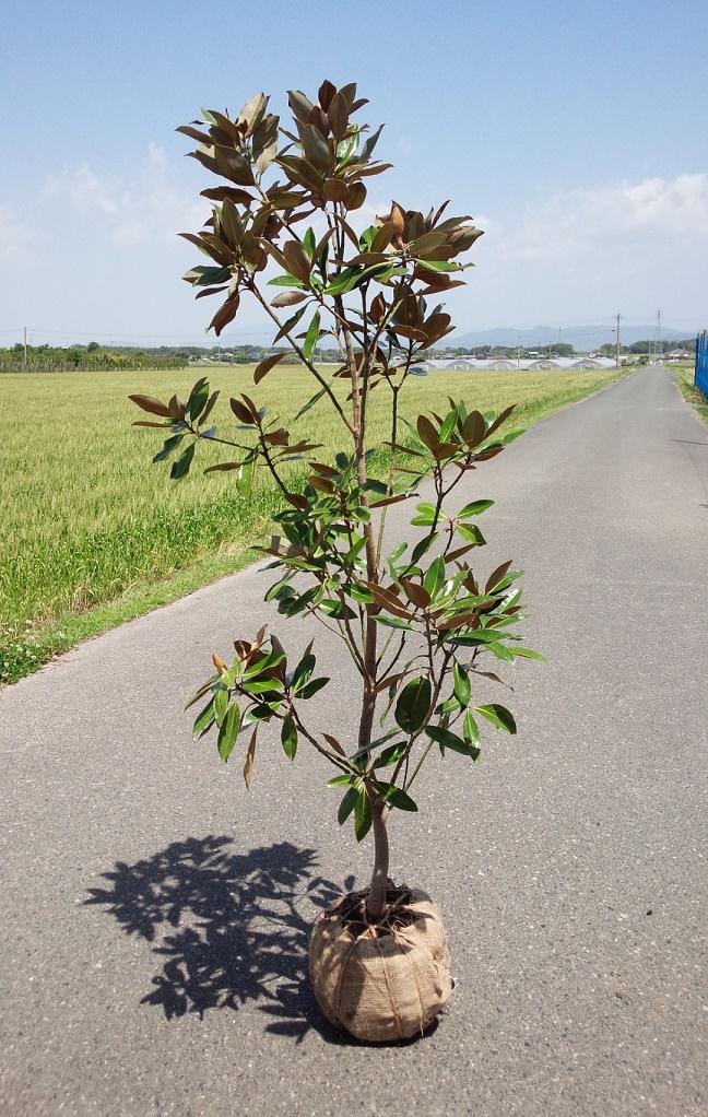 送料無料 120cm 庭木 花木 大輪の花 シンボルツリー【タイサンボク(リトルジェム) 樹高1.2m前後】
