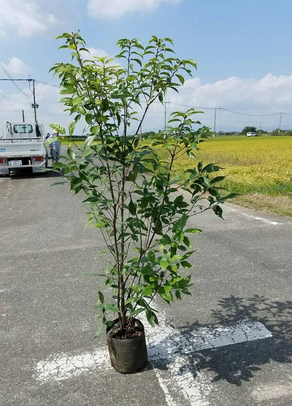 送料無料 150cm シンボルツリー 生垣 どんぐり【アラカシ 株立 樹高1.5m前後】