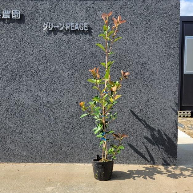◆高品質 100cm 生垣 目隠し 庭木 常緑樹 ガーデニング定番 ギフ_包装 樹高1.0m前後 レッドロビン