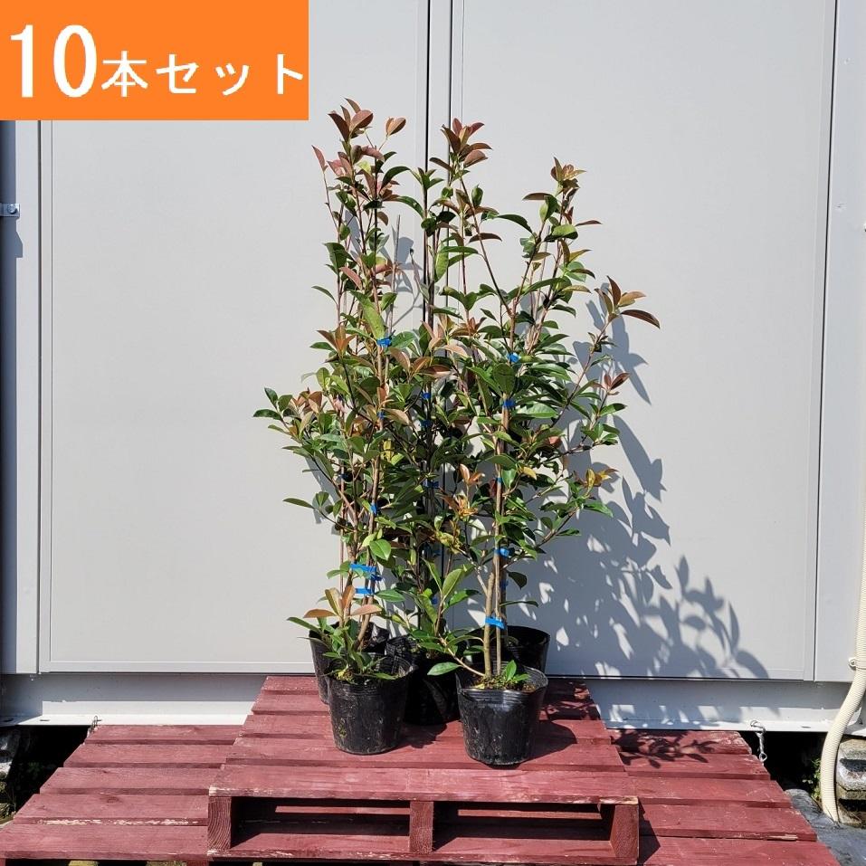 送料無料 100cm 激安セール 10本セット 定番生垣 目隠し レッドロビン 樹高1.0m前後 庭木 格安 価格でご提供いたします 常緑樹