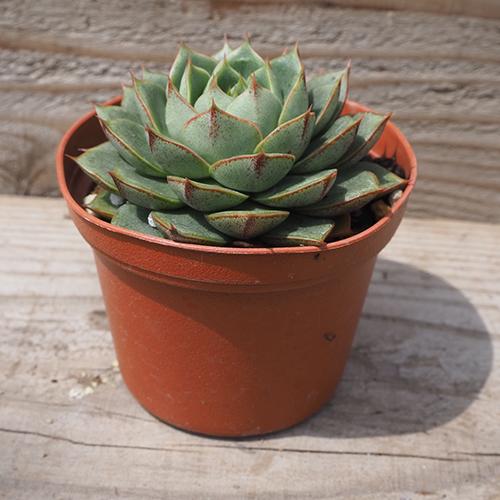 多肉植物エケベリア属 パルヴァ 格安 高級な 号 2.5