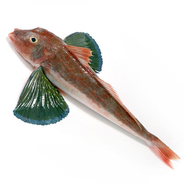 見た目がヘンテコな魚ですが 上質な白身はとても美味しい 天然 年末年始大決算 ホウボウ1尾 0.5-1kg前後サイズ 国産 冷蔵便 下処理可 ウロコ取り 三枚おろしor内蔵 ほうぼう 竹麦魚 即納最大半額 刺身 鮮魚 エラ